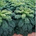 Torseed 1g Jarmuż Kapral Nasiona