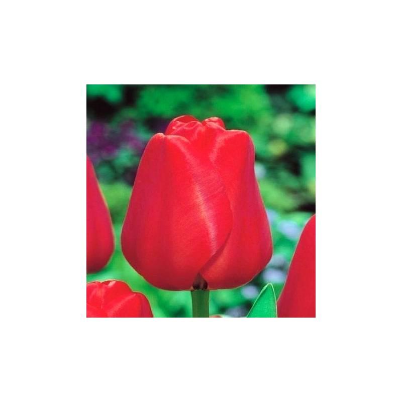 Benex Cebulki Tulipan Darwina Apeldorn Czerwony