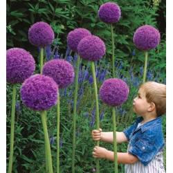Benex Cebulki Czosnek Allium Olbrzymi Gladiator Ozdobny