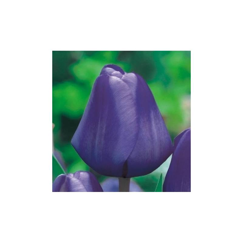 Benex Cebulki Tulipan Triumph Blue Niebieski