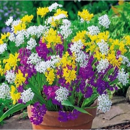 Benex Cebulki Czosnek Ozdobny Mieszanka Allium