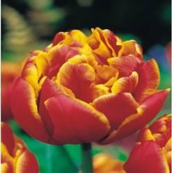 Benex Cebulki Tulipan Pełny Allegretto