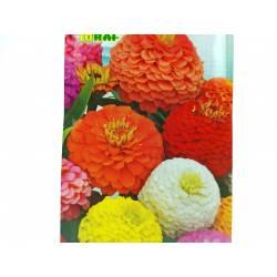 Toraf 1g Cynia Daliowa Mix Nasiona kwiatów jednorocznych Mieszanka kolorów Pełne kwiaty