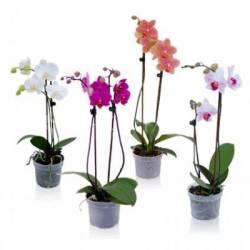 Biopon 0,5l Nawóz do wszystkich odmian storczyków wielokrotne kwitnienie