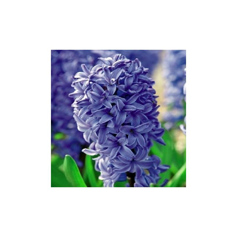 Benex Cebulki Hiacynt Delft Blue Niebieski Pachnący