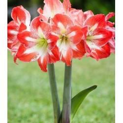 Benex Cebulki Amarylis Minerva czerwono-biały Hippeastrum Zwartnica