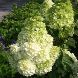 Ekodarpol 1l Biohumus Extra hortensja nawóz naturalny