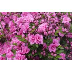 Ampol 2kg Nawóz do roślin kwasolubnych różaneczniki wrzosy azalie borówki